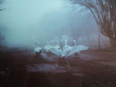 Swans on the run!
