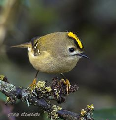 goldcrest by gray clements