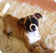 ADOPTED!!! Lilo is an adorable baby looking for her forever family. Somehow, mommy is a 20lb Chihuahua mix and daddy is a 50lb boxer mix. Lilo loves cuddling and is great with other dogs, cats, and young kids. Lilo LOVES playing and will pounce on other dogs when they are not looking but is just as happy to cuddle her people and be loved on. She is a very fun puppy who listens very well and is learning potty training quickly. causeforpawsohio.com