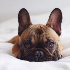 Frankie, the cute little French Bulldog
