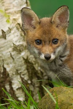 Red Fox Cub by asbimages.co.uk