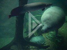 Manatee livecam at the Dallas World Aquarium.