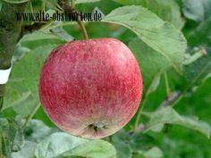 Agathe von Klanxbüll Agathenhof, Nordfriesland aromatischer, süß-säuerlicher saftiger Apfel, goldrot gefärbt, Verwendung: als Tafelapfel, zum Entsaften, mittelstarker Wuchs