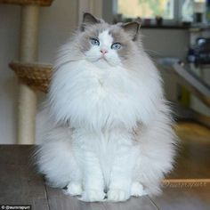 Emily and Niklas, who have set up an Instagram and Facebook page for their cat, said:'Cats are known for being the rulers of the house and Aurora takes that to the next level'