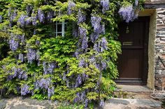 wisteria on front of house Gras, Wisteria, Climbers, House Front, Organic Beauty, Life Is Good, Pergola, Home And Garden, Outdoor Structures
