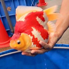 Jumbo Ryukin from Japan. Narita Tamasaba Farm. #big #ryukin #pet #fish #goldfish #goldfishunion #goldfishofinstagram