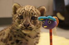 Snow Leopard cub at Milwaukee County Zoo