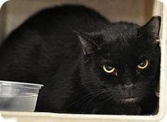 Philadelphia, PA - Domestic Shorthair. Meet kipper, a cat for adoption. http://www.adoptapet.com/pet/17420729-philadelphia-pennsylvania-cat