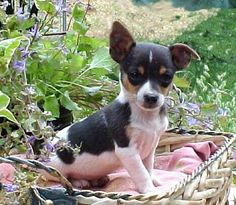 Rat Terrier puppies are absolutely ADORABLE! - my stuff - Puppies Pitbull Terrier, Perros Rat Terrier, Rat Terrier Puppies, Toy Fox Terriers, Terrier Mix, Cute Puppies, Cute Dogs, Dogs And Puppies, Doggies