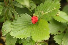 Strawberry: varieties in Saskatchewan are Wild strawberry (Fragaria virginiana) and Wood strawberry (Fragaria vesca).