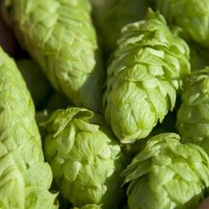 To grow hops, you don't need a green thumb, you'll save a little money and it's one more ingredient you'll have complete control over in your homebrew.