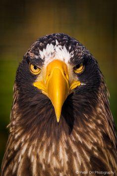 The largest beak of all the raptors? Kinds Of Birds, All Birds, Birds Of Prey, Steller's Sea Eagle, Eagle Images, Animal Crackers, Big Bird, Bird Free, Raptors