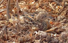 Andalusian+Buttonquail+%28Turnix+sylvaticus+sylvaticus%29%2C+south+of+Sidi+Abed%2C+El+Jadida%2C+Morocco+16+September+2007++%28Beno%C3%AEt+Maire%29.jpg (1575×991)