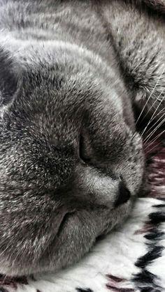 My blue british shorthair cat - Borys. Mój niebieski krótkowłosy kot brytyjski - Borys.