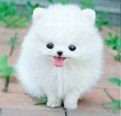 Cute White Dogteacups Pomeranians Ball Cutest Dogs Teacups Dogs ...