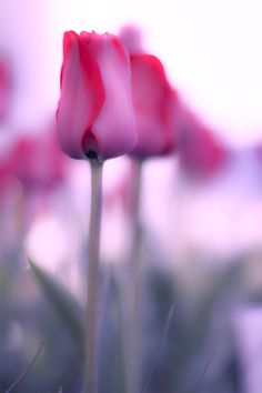 tulip by OKAWA โอ๋กะหว้า. somchai on 500px