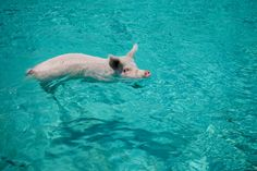 Pigs can swim, and, off a small Bermuda island, will come right up to your boat.