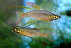 Gorgeous, peaceful, and active, the threadfin rainbowfish (Iriatherina werneri) is a spectacular aquarium fish. However, it's not the easiest species to breed. A master fish breeder took up the challenge and provides advice on how you can keep and breed this remarkable rainbowfish.