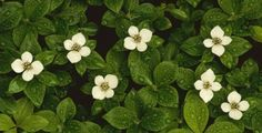 BUNCHBERRY  | full sun area as the soil must be moist, but not wet. The Bunchberry ...