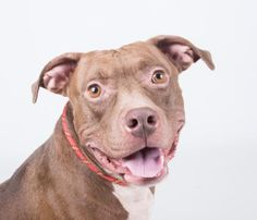 STATUS UNKNOWN - Dannon - URGENT - Dekalb County Animal Shelter in Decatur, Georgia - ADOPT OR FOSTER - 3 year old Male Am. Pit Bull Mix
