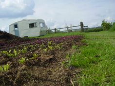 Beets in the vegetable plot