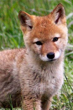 Baby coyote pup in YELLOWSTONE NATIONAL PARK -- a PERFECT FAMILY ADVENTURE DESTINATION! -- More info and images at http://www.examiner.com/article/yellowstone-national-park-holds-america-s-best-wildlife-adventures -- #family, #travel, #Yellowstone, #national park;