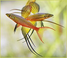 "Iriatherina Werneri (Threadfin Rainbow) - under 2"", first discovered in New Guinea, prefers slow moving waters"