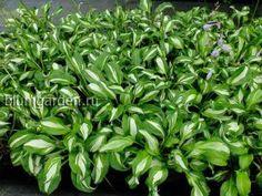 Распродажа растений для сада ⋆ интернет магазин blumgarden.ru