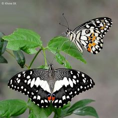 Butterflies of Singapore: Butterfly of the Month - November 2013