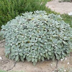 Your place to buy and sell all things handmade Herb Plant, Berggartten Sage Organic Sage Herb, Sage Plant, Organic Soil, Organic Herbs, Townhouse Garden, Salvia Officinalis, Love Garden, Dry Garden, Garden Ideas