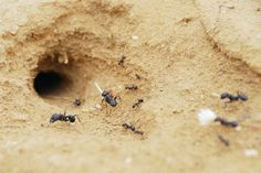 Ants are a year-round nuisance in homes and buildings. This article discusses the various locations where ants can build nests. Types Of Ants, Ant Species, Ant Colony, Black Ants, Poured Concrete, Candels, Goat Milk Soap, Gardens, Flowers