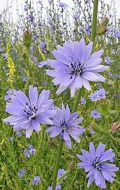 Chicory - Beautiful blue flowers that are great in salads and the root makes a delicious liver tonic tea. Purple Flowers, Wild Flowers, Beautiful Flowers, Happy Flowers, Exotic Flowers, Yellow Roses, Fresh Flowers, Pink Roses, Herb Garden