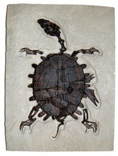 Fossil - Trionyx, green river turtle with bite marks.