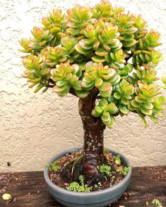 Jade Plant Succulent Bonsai😍 Tag one of your Friends to sho Jade Bonsai, Succulent Bonsai, Terrarium Plants, Succulent Gardening, Bonsai Plants, Cacti And Succulents, Planting Succulents, Garden Pots, Planting Flowers