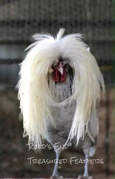 The Rasta Bird's hair hasn't been coiffed yet --- obviously. Fancy Chickens, Chickens And Roosters, Chickens Backyard, Farm Animals, Animals And Pets, Funny Animals, Cute Animals, Pretty Birds, Beautiful Birds