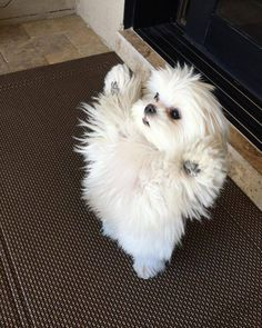 Things I respect about the Shih Tzu Cute Baby Animals, Animals And Pets, Funny Animals, Wild Animals, Cute Puppies, Cute Dogs, Dogs And Puppies, Doggies, Dog Pictures