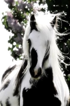 whooaaa! those color!!! i am hoping this is not black and white photo! if i actually find a true horse exact like in this photo! would fell in love with this horse and will name the horse Oreo! :)