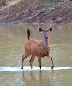 "llbwwb: "" Male sambar deer by Yogesh Bhandarkar "" Deer Photos, Deer Pictures, Beautiful Creatures, Animals Beautiful, Sambar Deer, Forest And Wildlife, Deer Family, Magical Forest, Wild Creatures"