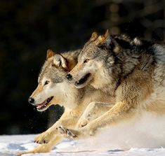 "beautiful-wildlife: ""Pack of Grey Wolves Running Through Deep Snow by John Hyde…"