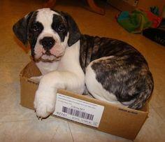 Monte Carlo the American Bulldog puppy laying down in a cardboard box