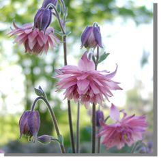 Aquilegia vulgaris 'Rose Barlow'