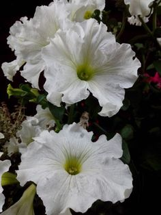 White two flowers Cogua