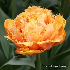 Large Image Sensual Touch Fringed Double Tulip
