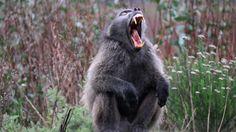 El ser humano no le hace ascos a la violencia, y esa tendencia le viene de familia. Primates como lo... - Externa