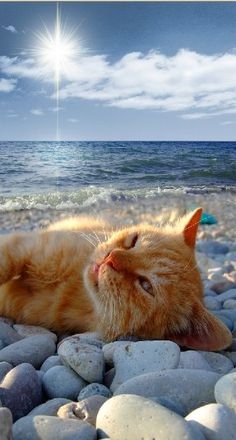 An orange cat lying on a rock covered beach. Love orange cats