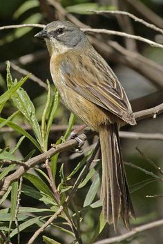 Long-Tailed Reed Finch (Donacospiza albifrons)