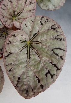 Begonia 'Silver Dollar'