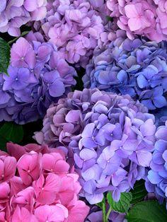 Pretty shades of blue, pink and purple hydrangea - Flowers~Trees - Blumen & Pflanzen Hortensia Hydrangea, Hydrangea Garden, Purple Hydrangeas, Hydrangea Bush, Hydrangea Colors, Hydrangea Flower, Flower Beds, My Flower, Deco Floral