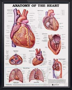 Anatomy of The Heart anatomy poster shows anterior, posterior and superior views of the heart with ventricles. Cardiovascular chart for doctors and nurses.