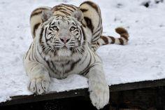 Imágenes de Leones, Leopardos y Tigres